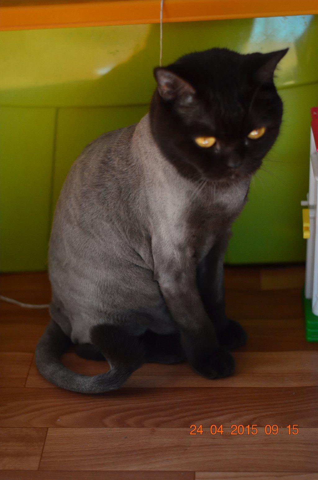 Подстричь кота в домашних условиях фото