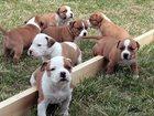 Изображение в   Срочно нужен щенок Американского стаффордширского в Тюмени 0