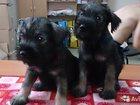 Фотография в   Порода: Миттельшнауцер  Продаются щенки от в Тюмени 15000