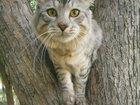 Фото в Кошки и котята Вязка Кот, возраст 1, 5г. ищет невесту для вязки. в Тюмени 0