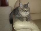 Изображение в   Сибирская кошка светло пепельного окраса в Тюмени 0