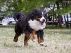 Фотография в Собаки и щенки Вязка собак Предлагается для племенного использования в Тюмени 0