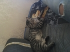 Фото в   Американский короткошёрстный красавец ищет в Тюмени 0