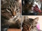 Фото в Кошки и котята Вязка Ищем любого котика для вязки, у нас беспородная в Тюмени 0