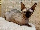 Фотография в Кошки и котята Вязка Кот 1 год с документами от титулованных родителей в Тюмени 5000