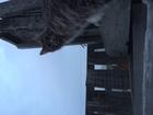 Просмотреть фотографию Вязка Ищем котика для вязки 39066181 в Тюмени
