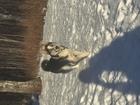 Смотреть foto  Кобель хаски на вязку, Добрый и общительный, 66417801 в Тюмени
