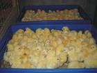 Смотреть фотографию Птички суточные цыплята бройлера Кобб-500 и инкубационное яйцо 38204830 в Тольятти