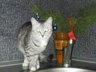 Фото в Кошки и котята Вязка Ищем котика перса или британца для первой в Тольятти 0