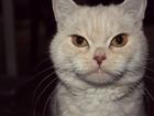 Уникальное фотографию  Плюшевый британец ждёт кошечку 38954742 в Тольятти