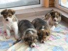 Фото в Собаки и щенки Продажа собак, щенков Очаровательные крепкие здоровые щенки ищут в Томске 0