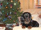 Фотография в Собаки и щенки Вязка собак Молодой кобель длинношёрстной таксы ищет в Томске 1000