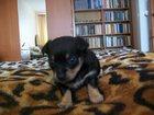 Фотография в Собаки и щенки Продажа собак, щенков Продам той - терьера, девочка, 1 мес. , кушает в Томске 0