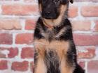 Фотография в   Порода: Немецкая овчарка    Продаются щенки в Томске 25000