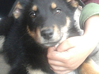 Изображение в Собаки и щенки Продажа собак, щенков Отдам даром в добрые руки щенка. Мама помесь в Томске 0