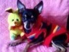 Свежее изображение Вязка собак мини той вязка 37606996 в Томске