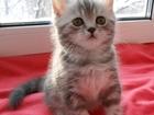 Фото в Кошки и котята Продажа кошек и котят Ищем самые лучшие ручки для чистокровных в Томске 5000
