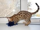 Изображение в Кошки и котята Продажа кошек и котят Бенгальский котенок в отличном породном типе: в Томске 0