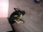 Уникальное foto Вязка собак Ищем подругу для вязки ВЕО , кобель 3 года 38649131 в Томске