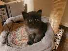 Просмотреть фото Отдам даром - приму в дар Котята-девочки от домашней кошки в дар 41467094 в Томске