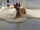 Просмотреть foto Вязка собак Для вязки ищем кабеля чихуахуа 50797625 в Томске