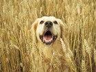 Скачать бесплатно фото Вязка собак Вязка собак (случка), Кобель - ретривер 59596784 в Томске