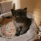 Котята-девочки от домашней кошки в дар