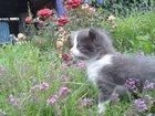 Фотография в Кошки и котята Продажа кошек и котят Станет надежным другом и помощником в борьбе в Туле 0