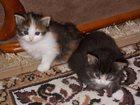 Фото в Кошки и котята Продажа кошек и котят две девочки и два мальчика рожденные 15 октября в Туле 0