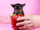 Фото в Собаки и щенки Продажа собак, щенков Питомник РКФ предлагает к продаже своих деток-йоркширов. в Туле 0
