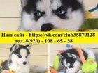 Фотография в Собаки и щенки Продажа собак, щенков Красавцы-малыши хаски, от заводчика, продам! в Туле 0