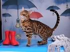 Изображение в   Титулованный бенгальский кот- Интер Чемпион в Туле 0