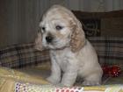 Фотография в   Предлагается к продаже чистопородный щенок в Москве 10000