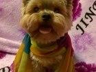 Фотография в Собаки и щенки Вязка собак Статный, очень милый Мальчик с очень красивым в Туле 0