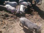 Новое изображение Другие животные Продаю вьетнамских поросят, 33041713 в Твери