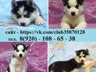 Изображение в Собаки и щенки Продажа собак, щенков Продам щенков хаски с яркими глазками, как в Твери 0