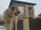 Изображение в Собаки и щенки Вязка собак Испанский мастиф с родословной, в январе в Твери 0