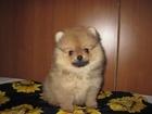 Изображение в Собаки и щенки Продажа собак, щенков щенки шпиц разного размера, мальчики и девочки, в Твери 15000