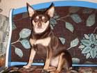 Фотография в Собаки и щенки Вязка собак Той терьер 4 года не развязан, собака пр в Твери 0