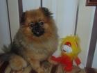 Скачать фото Вязка собак Вязка шпиц померанцевый соболиного окраса 66582110 в Твери