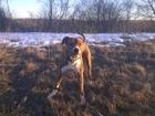 Свежее foto Вязка собак Предлагаю услуги кобеля по вязке амстаффа 67835557 в Твери