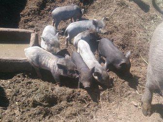 Скачать бесплатно фотографию Другие животные Продаю вьетнамских поросят, 33041713 в Твери
