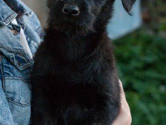 Смотреть фотографию Продажа собак, щенков Отдам даром щенка 2,5 мес 33070166 в Твери