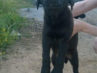 Просмотреть фотографию Продажа собак, щенков Отдам даром щенка 2,5 мес 33070166 в Твери