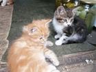 Уникальное фото Отдам даром - приму в дар Раздаю красивых, добрых 2-х месячных котят 70241338 в Тынде