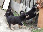 Фотография в Собаки и щенки Продажа собак, щенков Продаются щенки (девочки) от среднеазиатской в Уфе 500