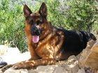 Фотография в Собаки и щенки Вязка собак 3, 5 года. Крупный, костистый, воспитанный, в Уфе 0