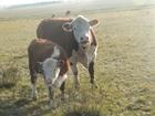 Смотреть фотографию Другие животные Племенные телки и нетели герефордской породы 38011072 в Янауле