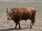 Скачать бесплатно foto  Бычки Калмыцкой породы 200 кг на откорм 44067821 в Баймаке