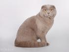 Смотреть фотографию Вязка кошек Вязка с вислоухим котиков 45735461 в Уфе